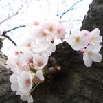 日本のサクラを演出する可視光通信